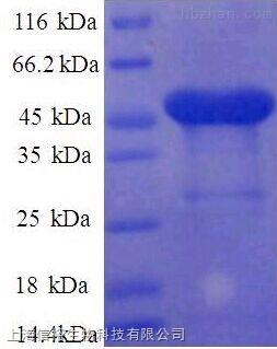 胞外5'-核苷酸酶(NT5E)单克隆抗体