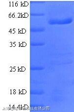 细胞程序性死亡蛋白6相互作用蛋白(PDCD6IP)单克隆抗体