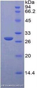 白介素18受体1(IL18R1)单克隆抗体