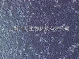大鼠胰腺上皮细胞