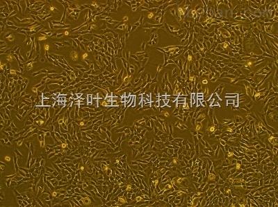 大鼠腮腺细胞