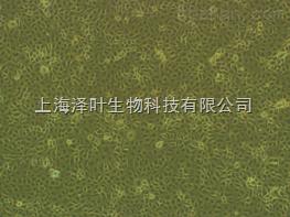 大鼠胰腺导管上皮细胞