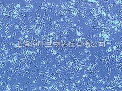 大鼠气管平滑肌细胞