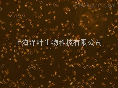 大鼠肺血管平滑肌细胞