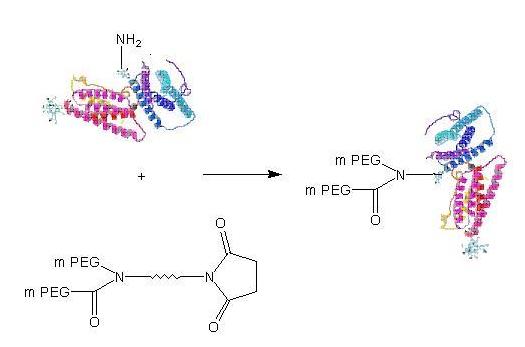 抗体水解片段结构图